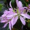 Rhododendron macrosepalum 'Koromo Shikibu'