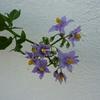 Solanum crispum 'Glasnevin' 40/60 C4L