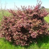 Loropetalum chinense f. rubrum 'Fire Dance' 40/50 C4L