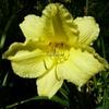 Hemerocallis 'Fragrant Returns' C3L