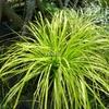Carex oshimensis 'Aurea' C3L