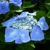 Hydrangea macrophylla 'Rotkehlchen' 20/40 C4L