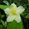 Kerria japonica 'Albescens' 40/60 C4L