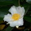 Gordonia axillaris 100/125 C10L