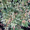 Nandina domestica 'Twilight' ® 25/30 C3L