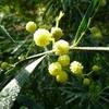 Acacia retinodes C3/4L 40/50