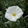 Convolvulus cneorum 20/30 C3L