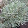 Euphorbia characias ssp. characias 'Burrow Silver' 20/30 C3L
