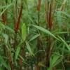 Fargesia scabrida 'Asian Wonder' 40/50 C4L