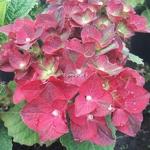 Hydrangea macrophylla Ruby Tuesday (1)
