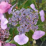Hydrangea serrata Blueberry Cheesecake (1)