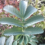 Melianthus major (1)