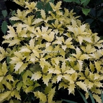 Osmanthus heterophyllus Ogon