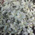 Pittosporum tenuifolium Silver Ball