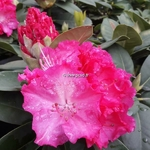 Rhododendron Anna Rose Whitney (1)