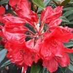 Rhododendron Cavalier (1)