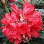 Rhododendron Cavalier (2)