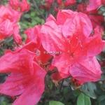 Rhododendron Johanna (1)