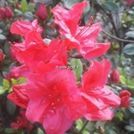 Rhododendron Johanna (2)