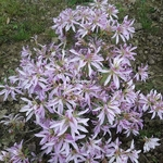 Rhododendron Koromo Shikibu (1)