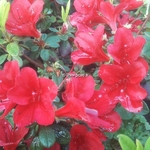 Rhododendron Ward's Ruby