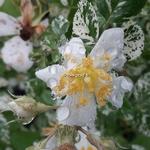 Rosa wichuriana Variegata (1)