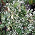 Rosa wichuriana Variegata (2)