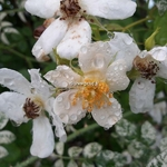 Rosa wichuriana Variegata (4)