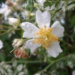 Rosa wichuriana Variegata (5)
