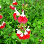 Salvia microphylla Hot Lips (3)