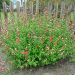 Salvia microphylla Hot Lips (2)