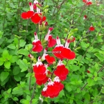 Salvia microphylla Hot Lips (1)