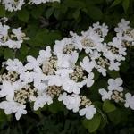 Viburnum plicatum Mariesii (1)
