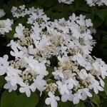 Viburnum plicatum Mariesii (2)