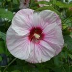 Hibiscus Cherrycheesecake
