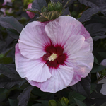 Hibiscus moscheutos Perfect Storm