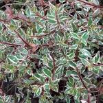 Abelia grandiflora Prostrata Variegata