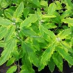 Caryopteris Aureomarginata
