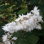 Deutzia pulchra (1)