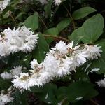 Deutzia pulchra (2)