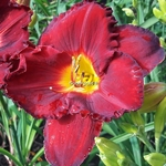 Hemerocallis Forever Red