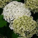 Hydrangea arborescens Annabelle (1)
