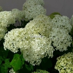Hydrangea arborescens Annabelle (3)