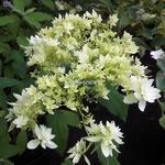 Hydrangea arborescens Hayes Starburst (2)