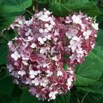 Hydrangea arborescens Sweet Annabelle (1)