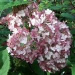 Hydrangea arborescens Sweet Annabelle (2)
