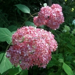 Hydrangea arborescens Invincibelle (2)