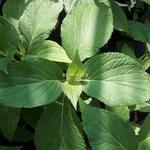 Hydrangea involucrata Mihara-kokonoe