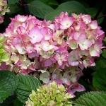Hydrangea macrophylla Bloomstar