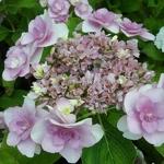 Hydrangea macrophylla Emotion